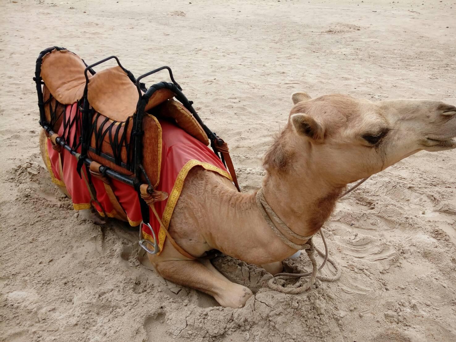 ラクダに乗れます!